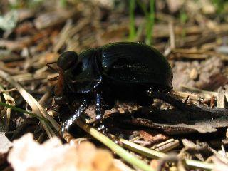 Kovakuoriainen vs muurahainen